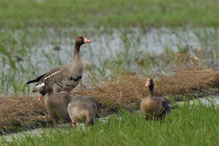 Greater White-fronted Goose, ML326793731