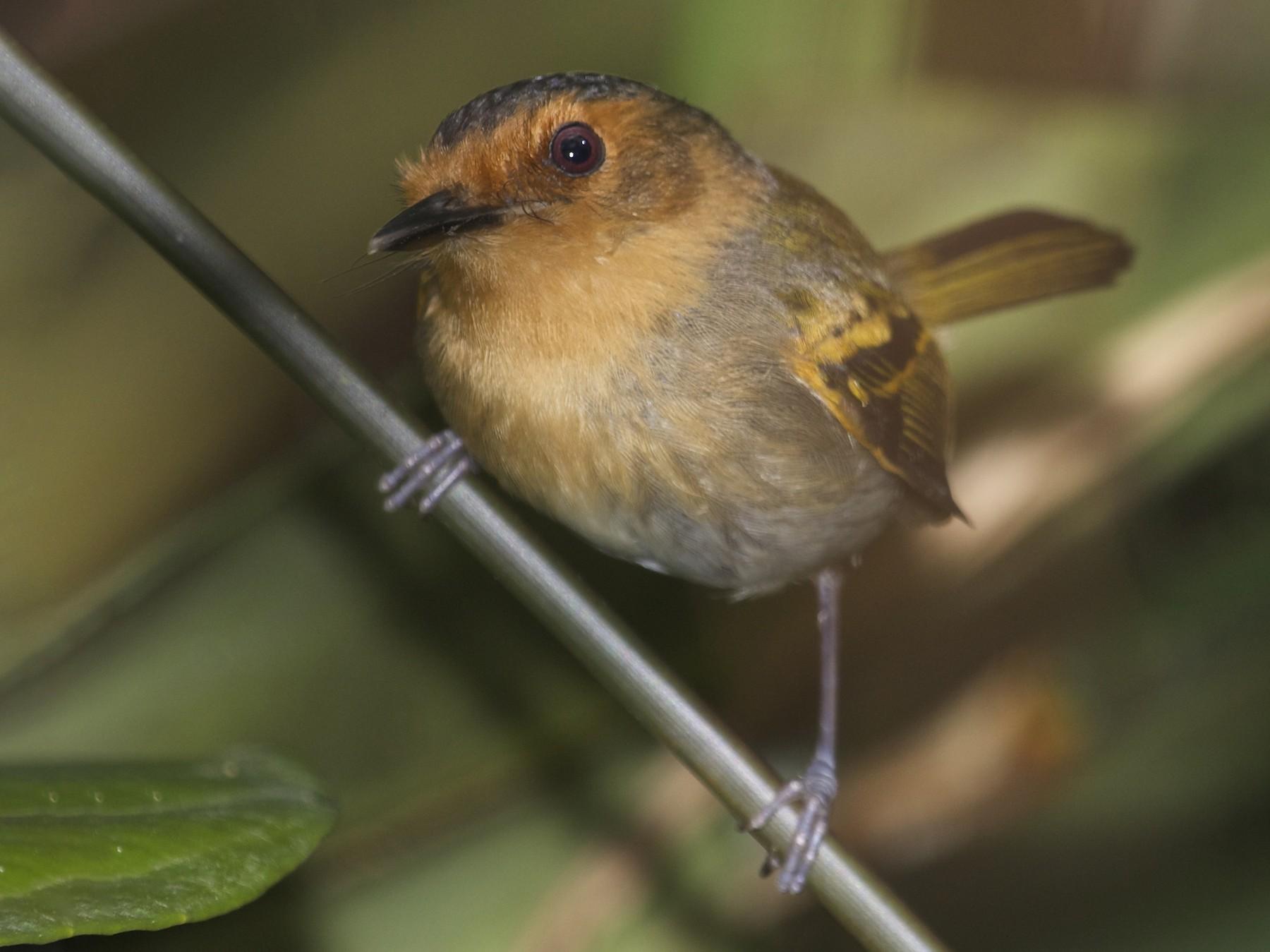 Ruddy Tody-Flycatcher - David Ascanio