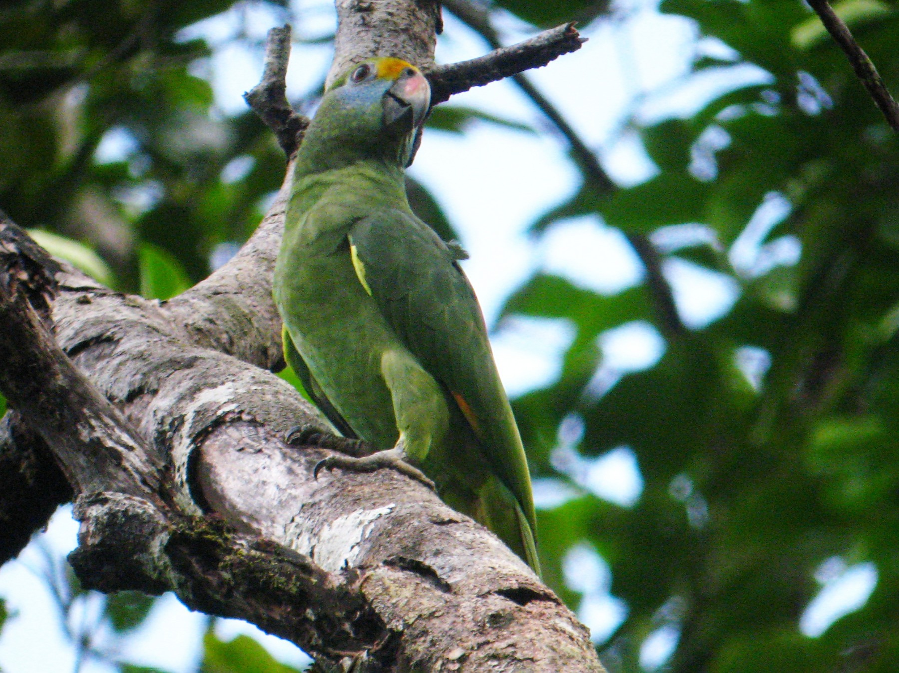 Blue-cheeked Parrot - David Ascanio