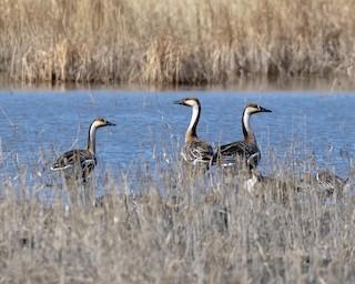 Swan Goose, ML327565291
