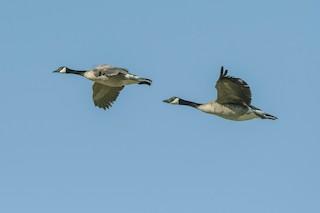 Canada Goose, ML327829581