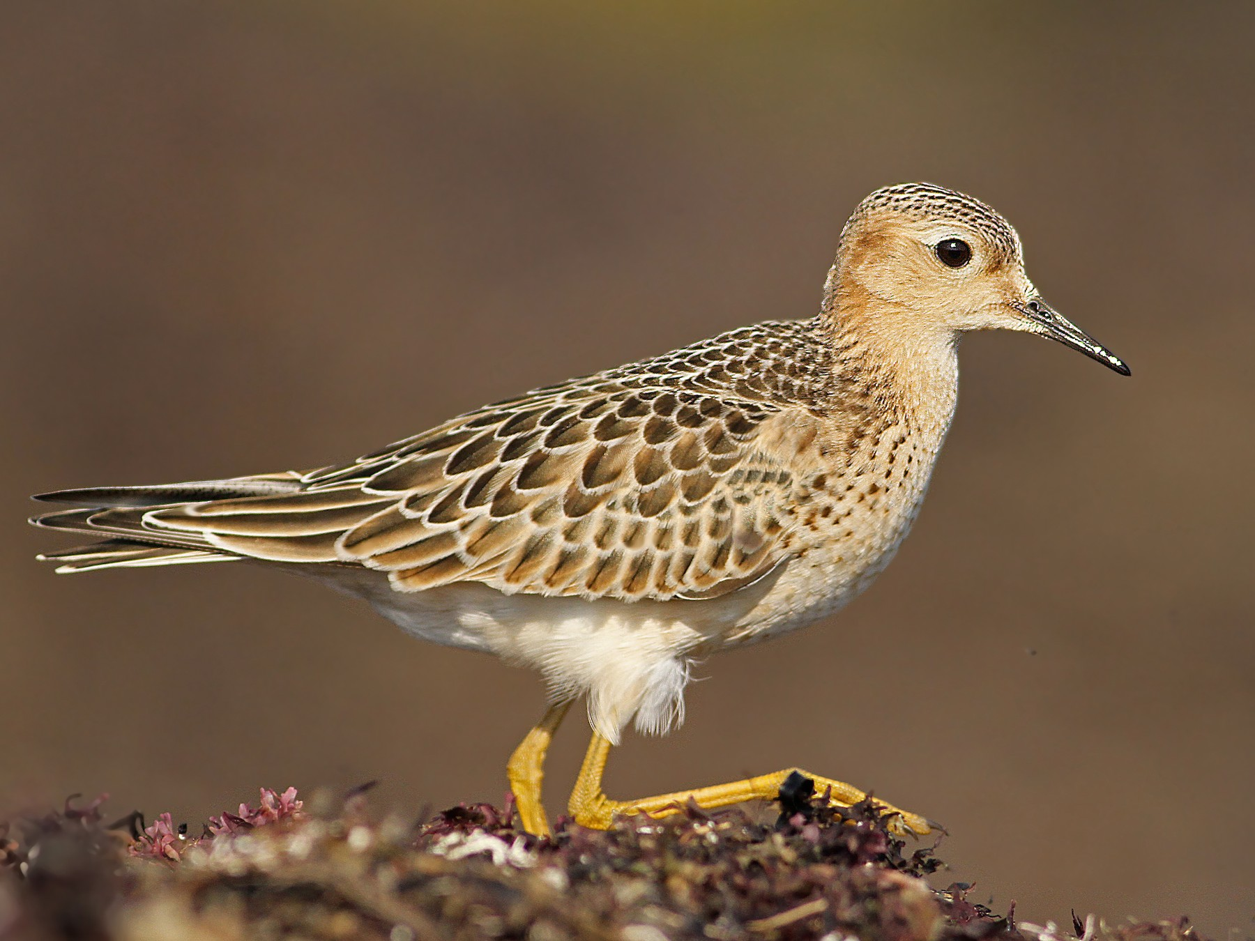 Buff-breasted Sandpiper - Luke Seitz