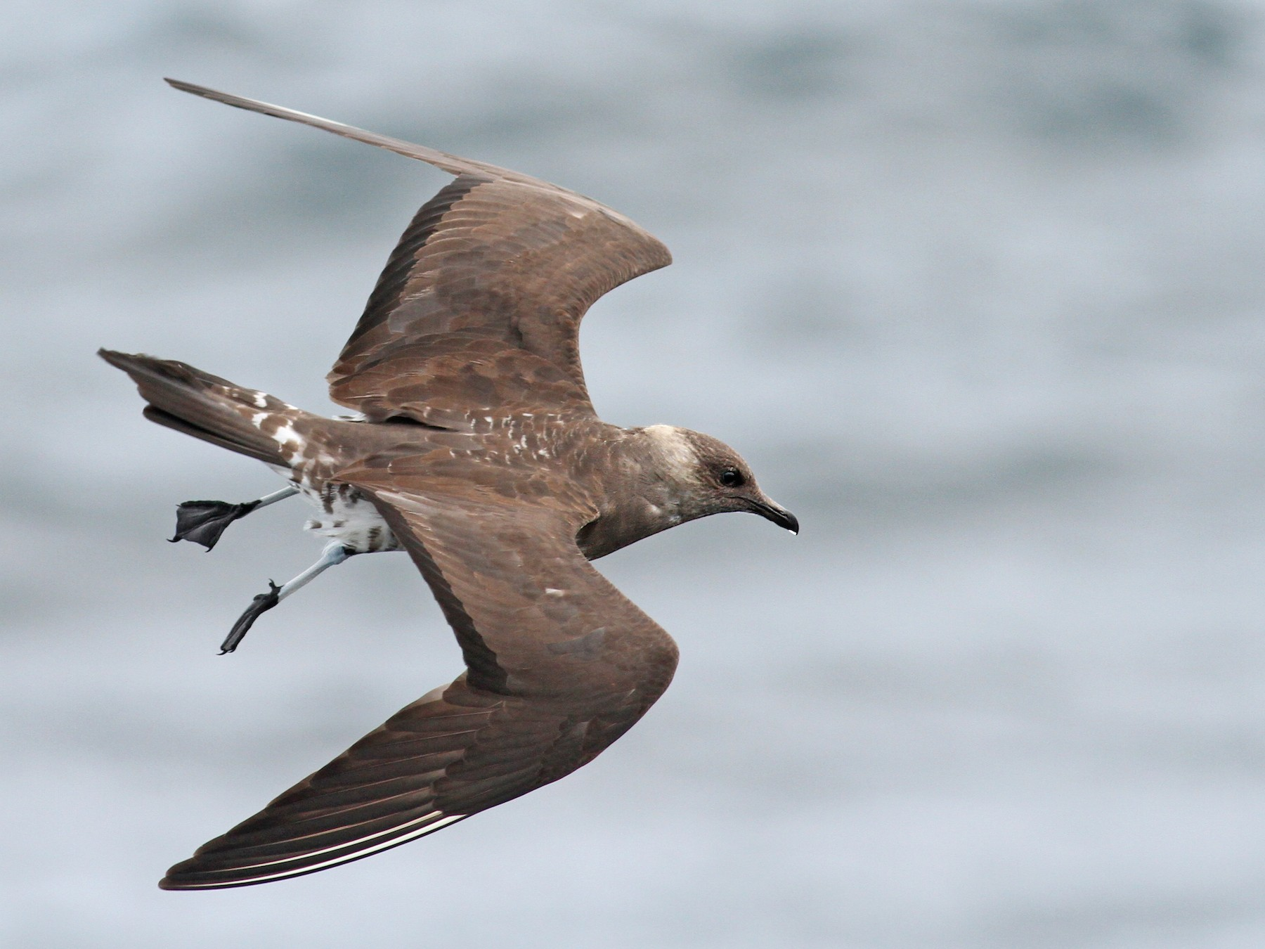 Long-tailed Jaeger - Luke Seitz