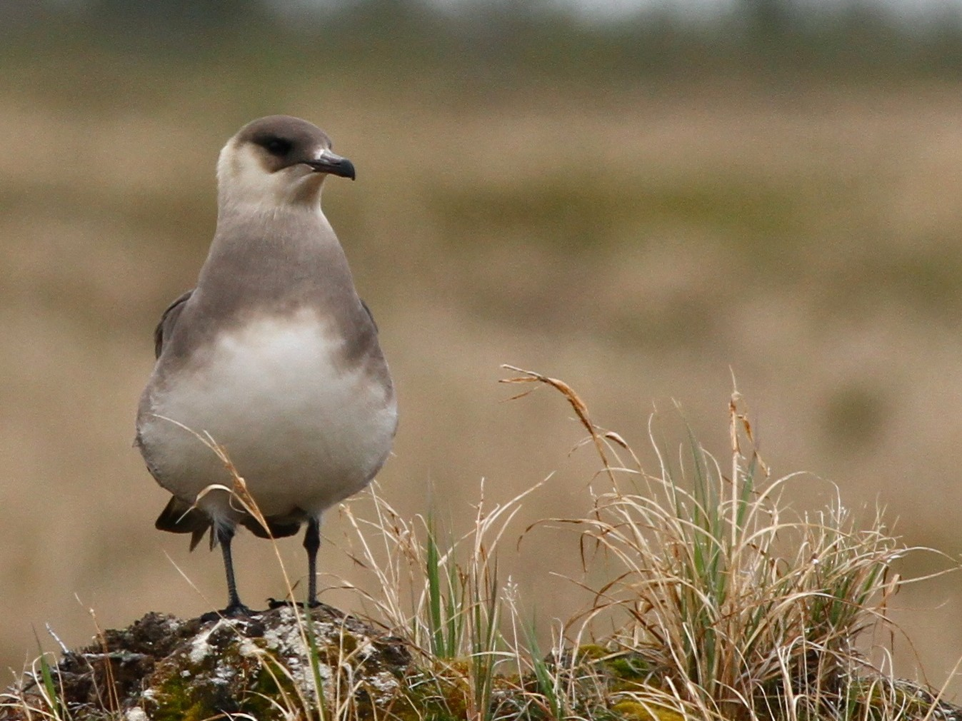 Parasitic Jaeger - Andy Johnson