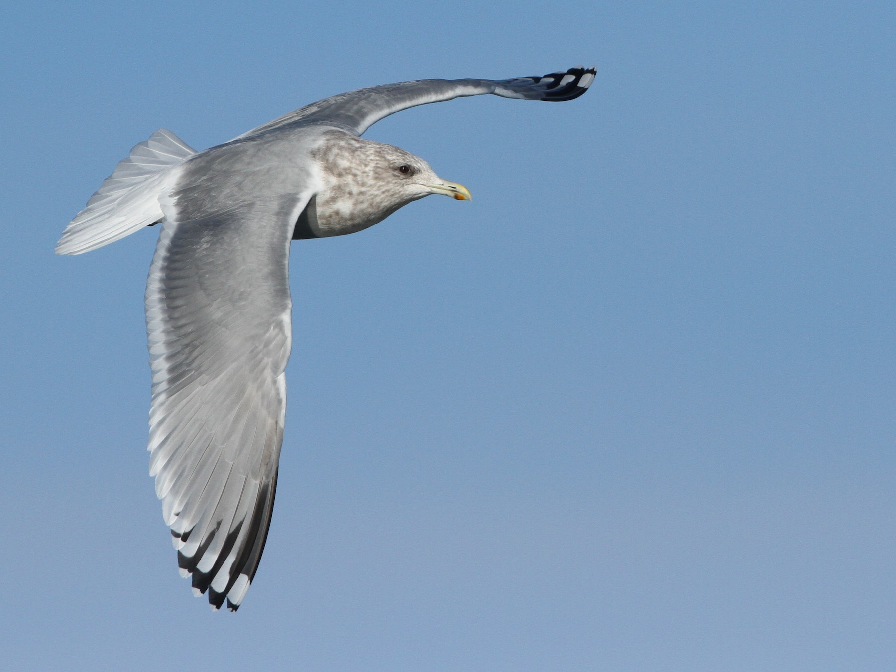 Iceland Gull (Thayer's) - Luke Seitz