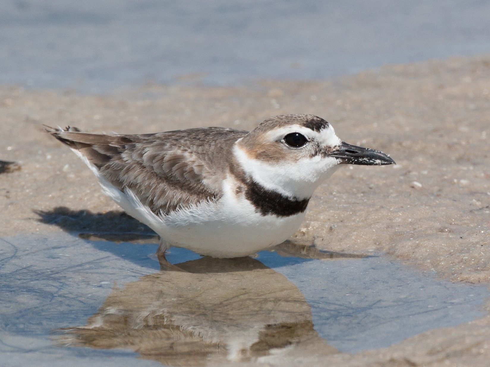 Wilson's Plover - Chris Wood
