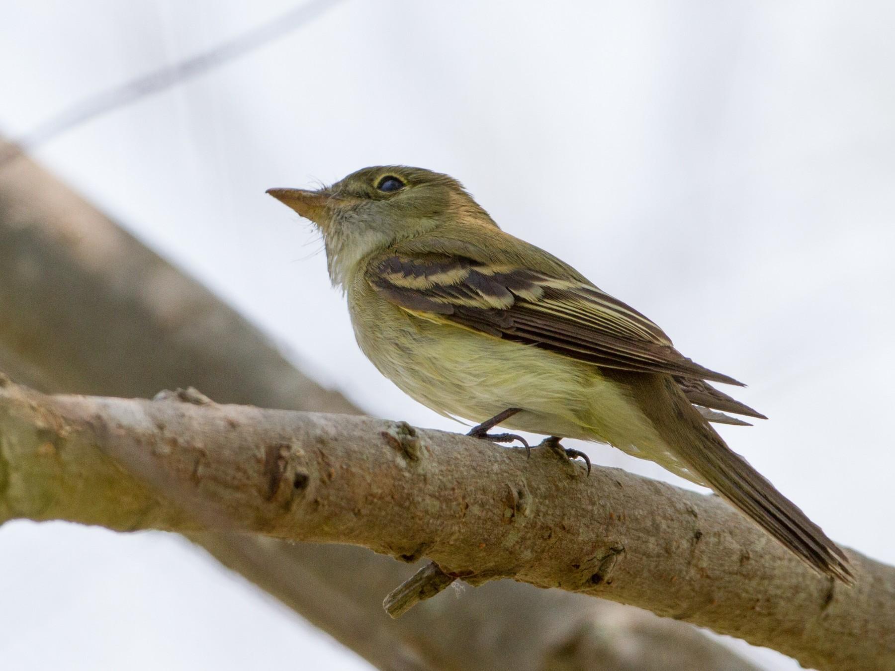 Acadian Flycatcher - Brian Sullivan
