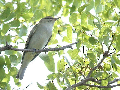 Black-whiskered Vireo - Chris Wood