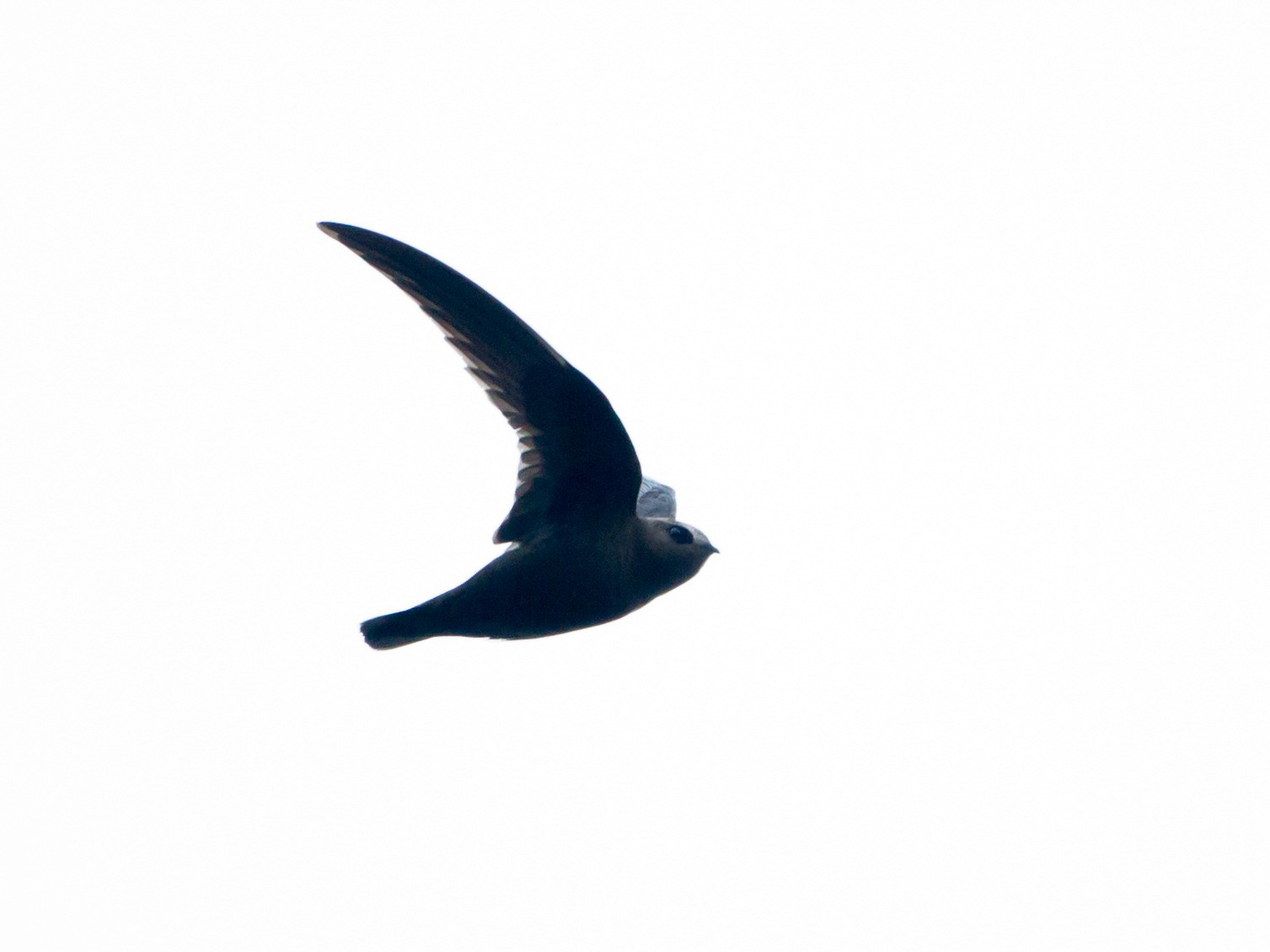Black Swift - Brian Sullivan