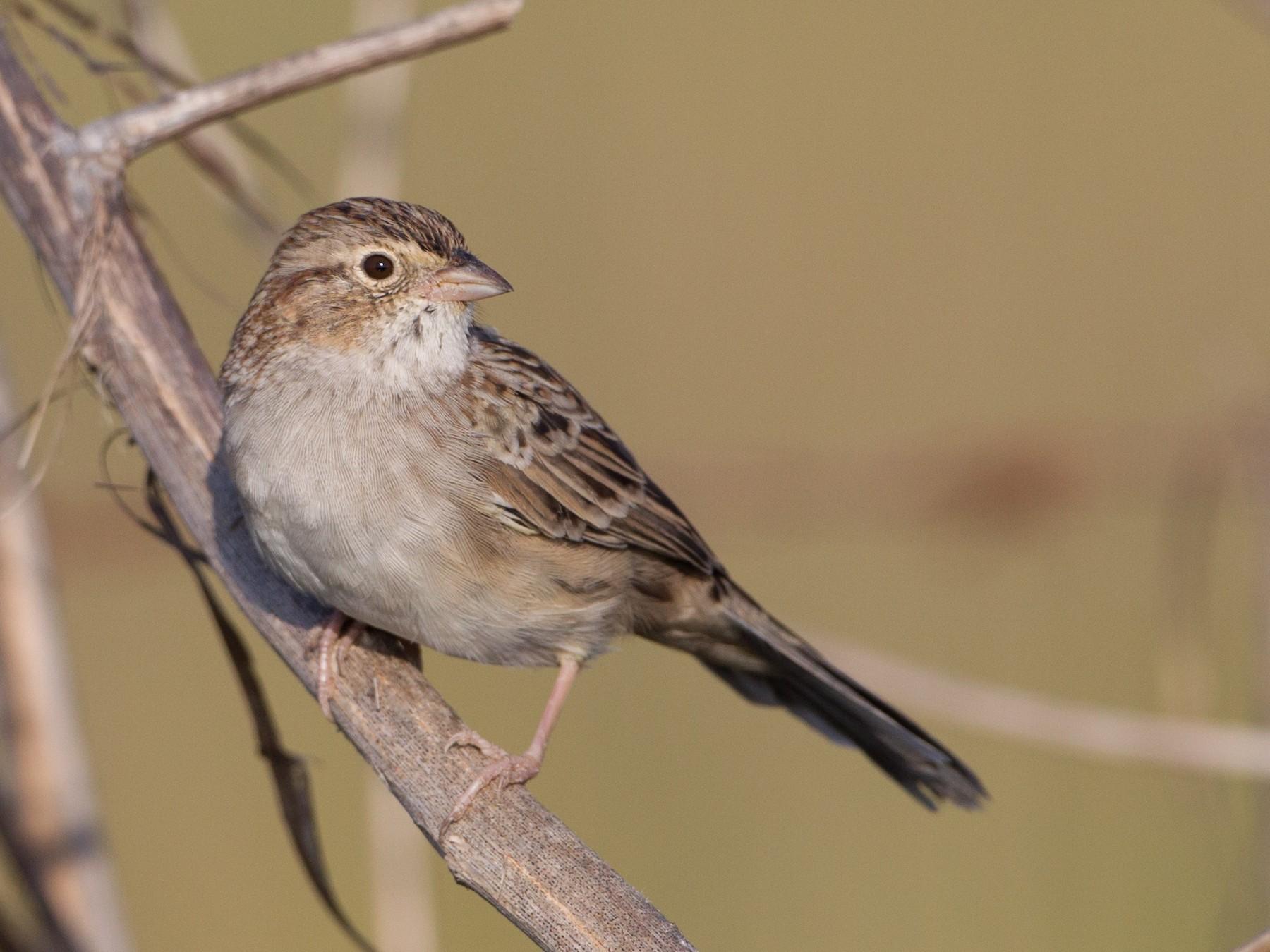 Cassin's Sparrow - Brian Sullivan