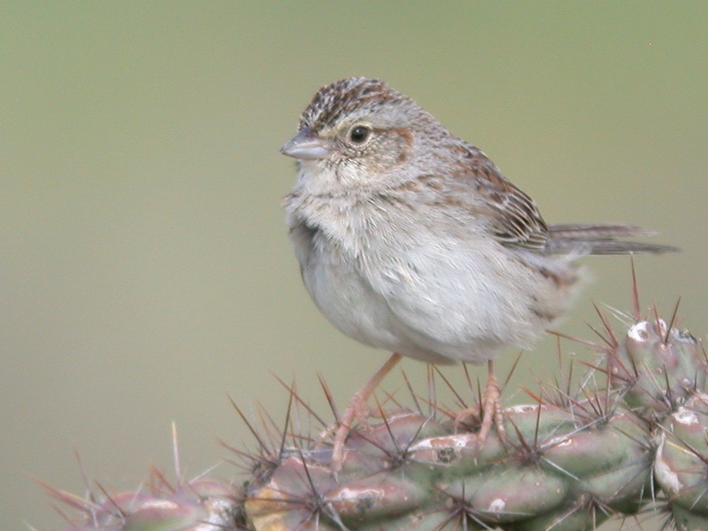 Cassin's Sparrow - Chris Wood