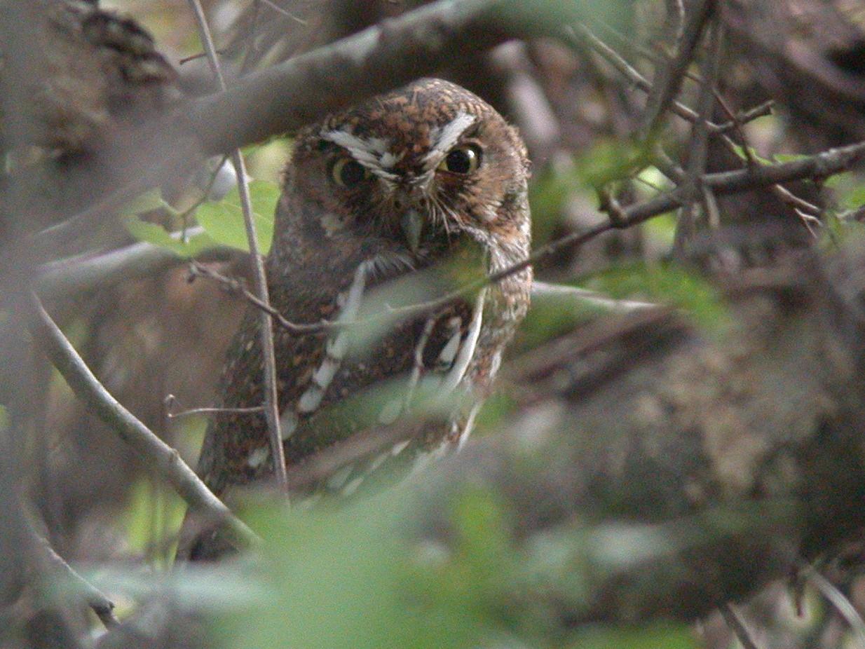 Elf Owl - Chris Wood