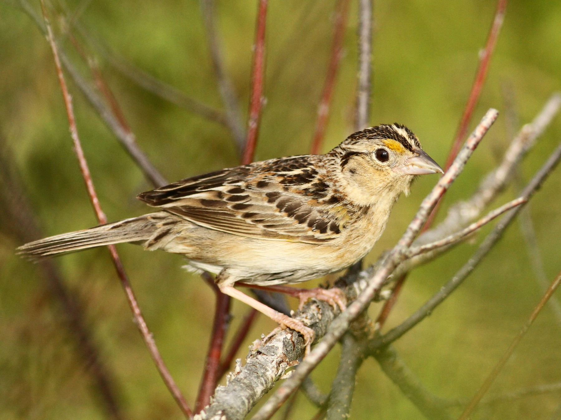 Grasshopper Sparrow - Luke Seitz