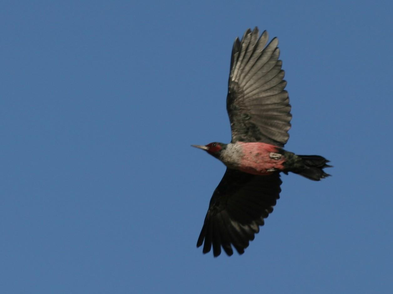 Lewis's Woodpecker - Brian Sullivan