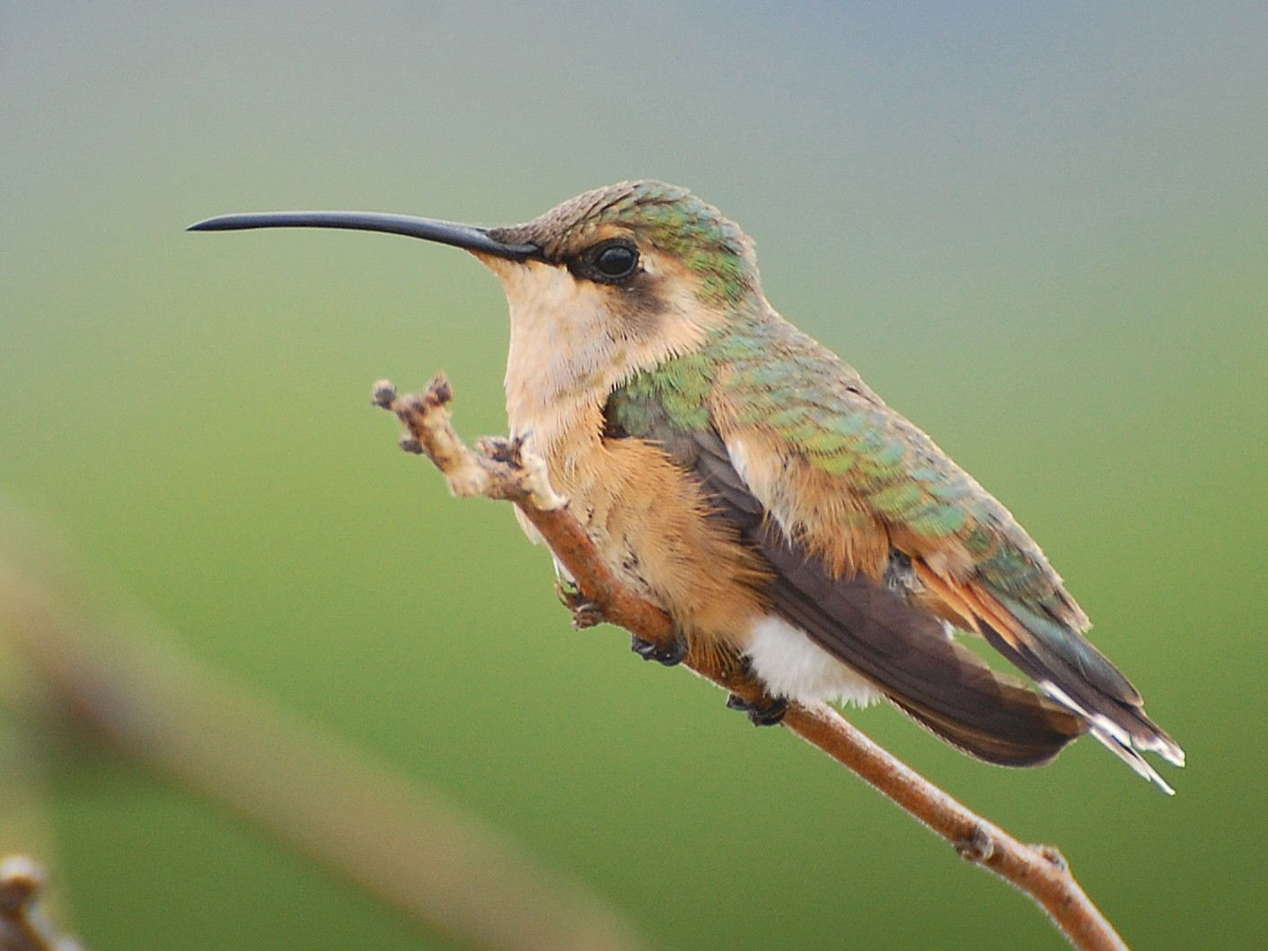 Lucifer Hummingbird -