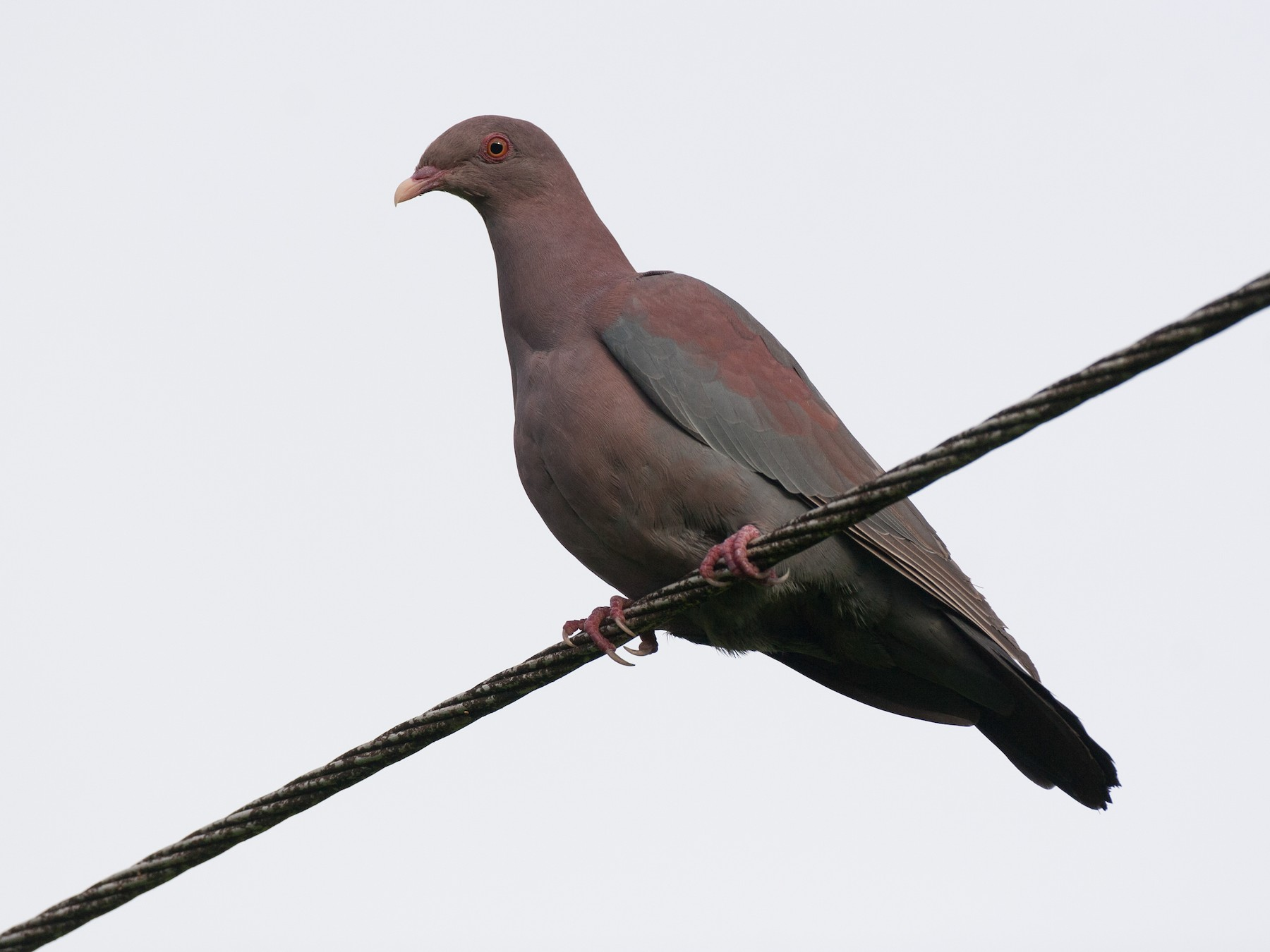 Red-billed Pigeon - Chris Wood