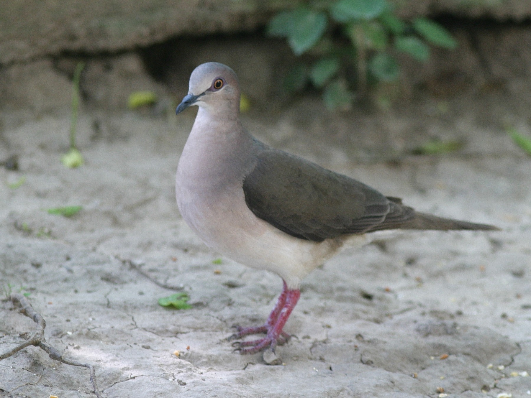 White-tipped Dove - Brian Sullivan