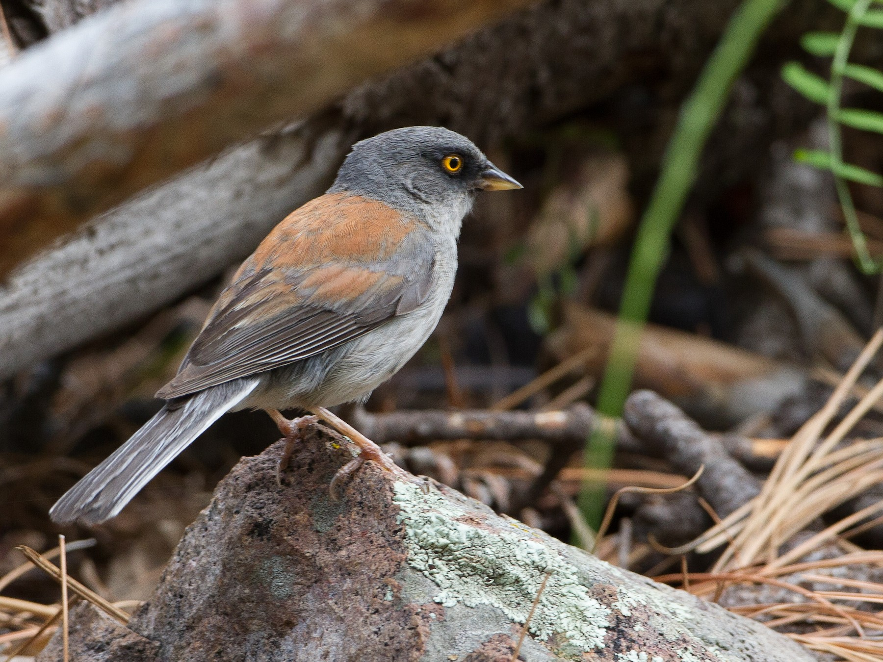 Yellow-eyed Junco - Brian Sullivan