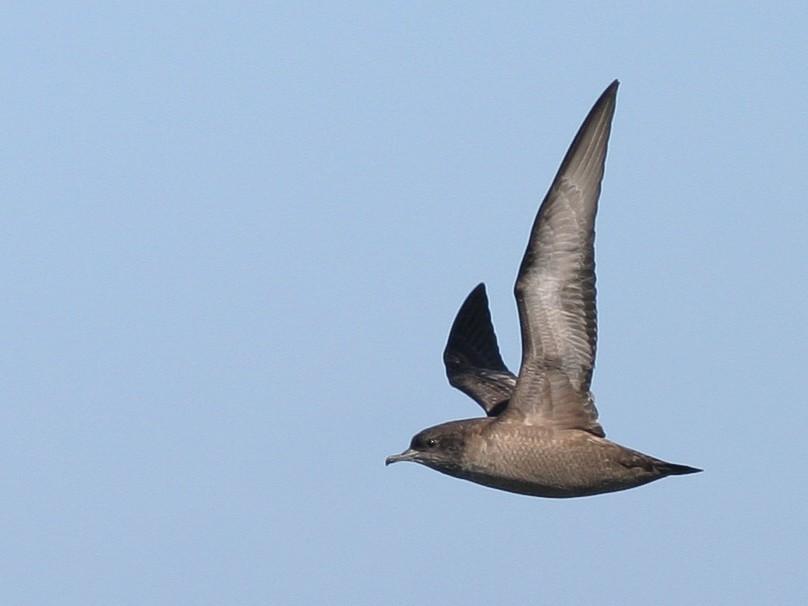 Short-tailed Shearwater - Brian Sullivan