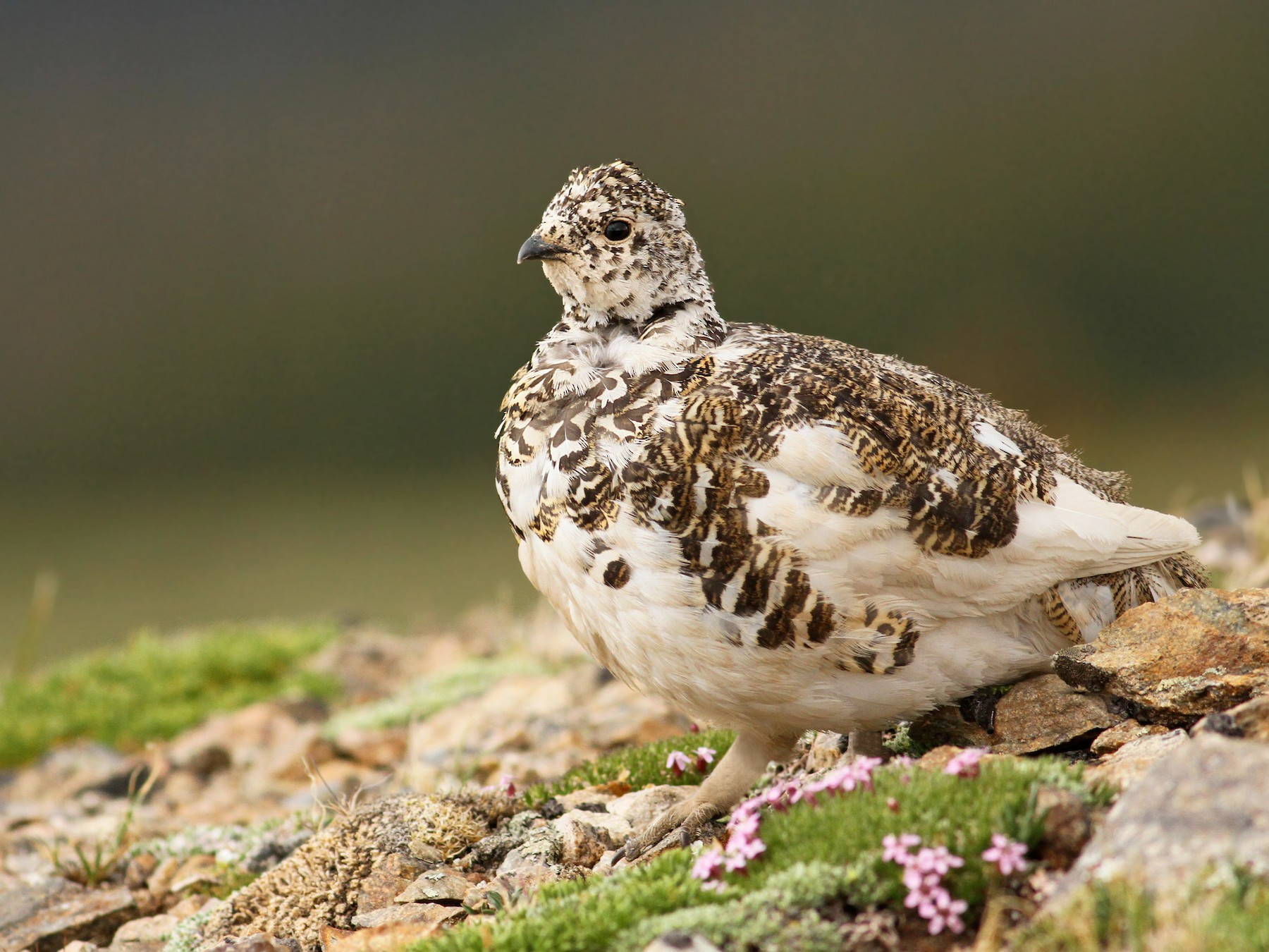White-tailed Ptarmigan - Luke Seitz