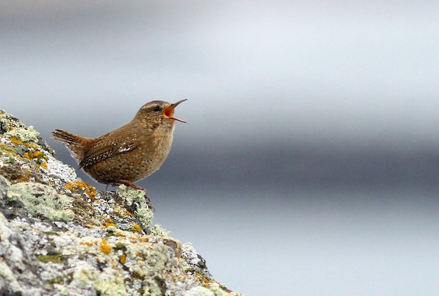 Pacific Wren (alascensis Group)