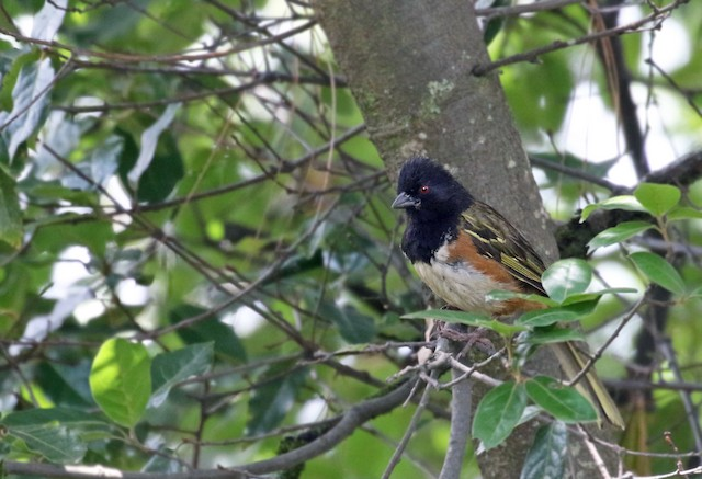 Spotted Towhee (Olive-backed)