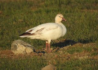 Snow Goose, ML328103601