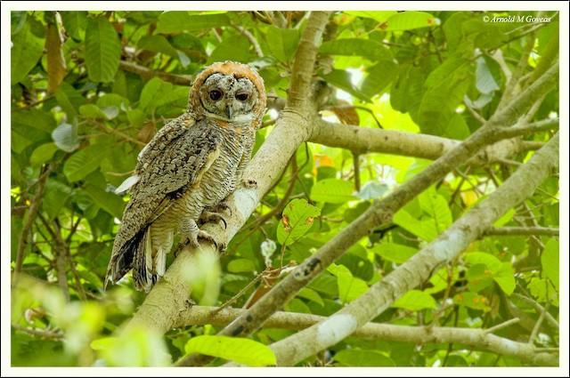 Mottled Wood-Owl