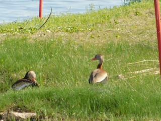 Black-bellied Whistling-Duck, ML328212031