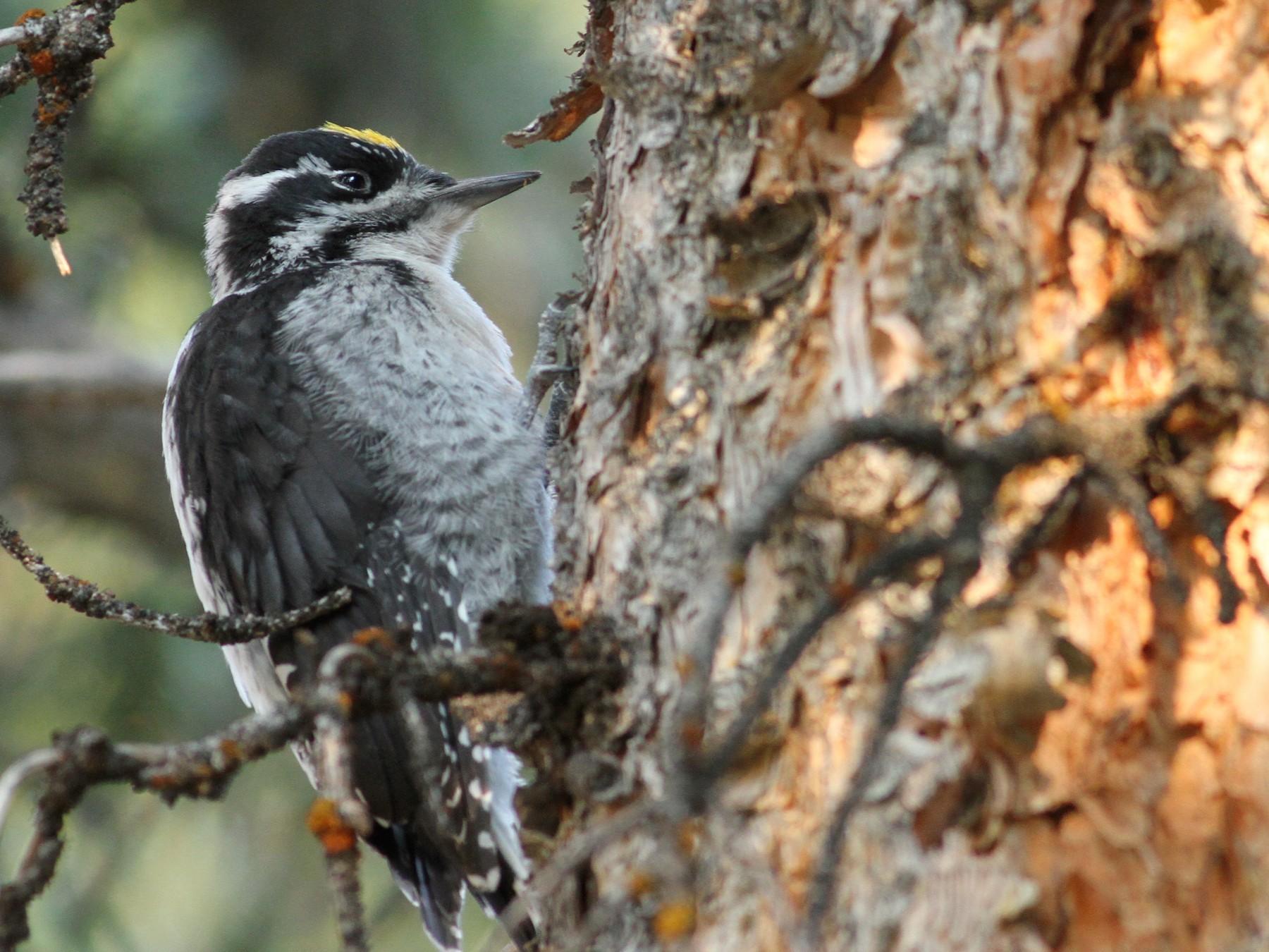 American Three-toed Woodpecker - Luke Seitz