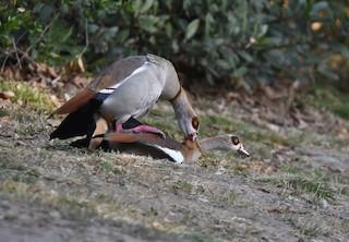 Egyptian Goose, ML328275361