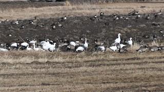 Snow Goose, ML328394551