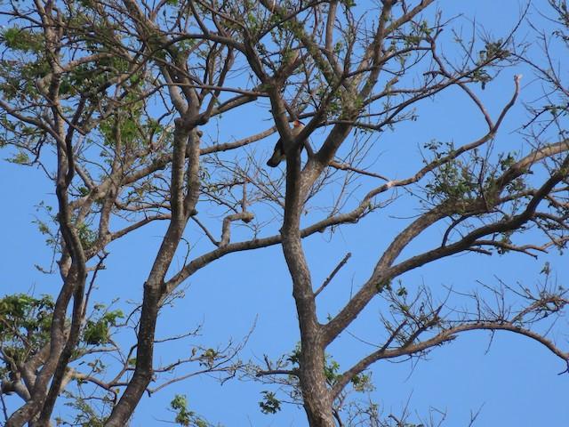 Crested Caracara (Northern)