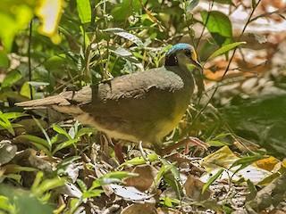 - Sulawesi Ground Dove