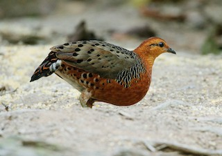 - Ferruginous Partridge