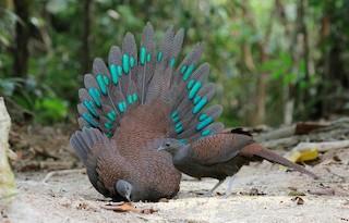 - Mountain Peacock-Pheasant