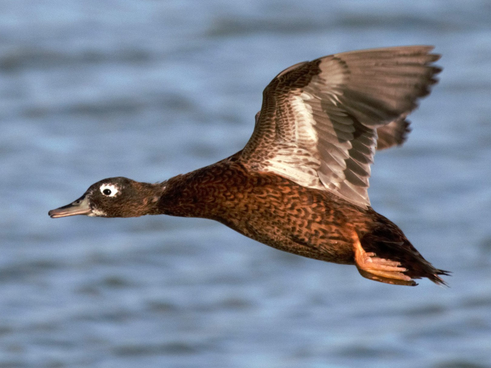 Laysan Duck - Jonathan Plissner