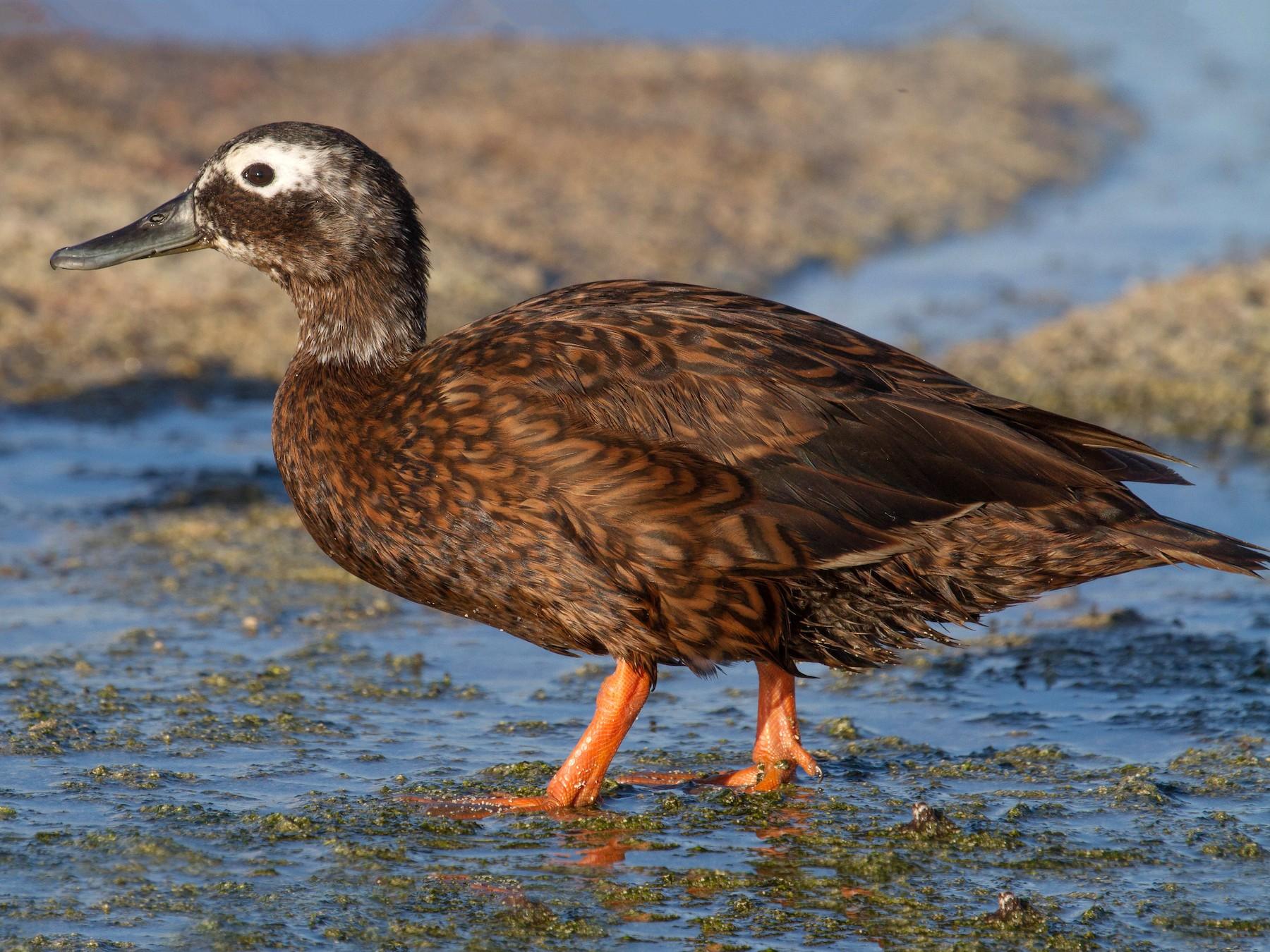 Laysan Duck - Robby Kohley