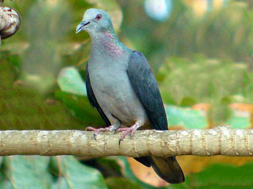 Sao Tome Pigeon - Nik Borrow