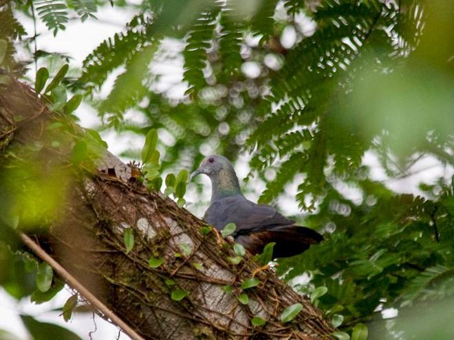 Sao Tome Pigeon - Alexandre Hespanhol Leitão