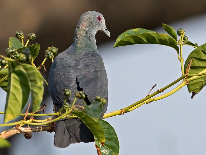 Sao Tome Pigeon - Lars Petersson