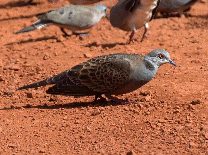 Adamawa Turtle-Dove - Chris Wood
