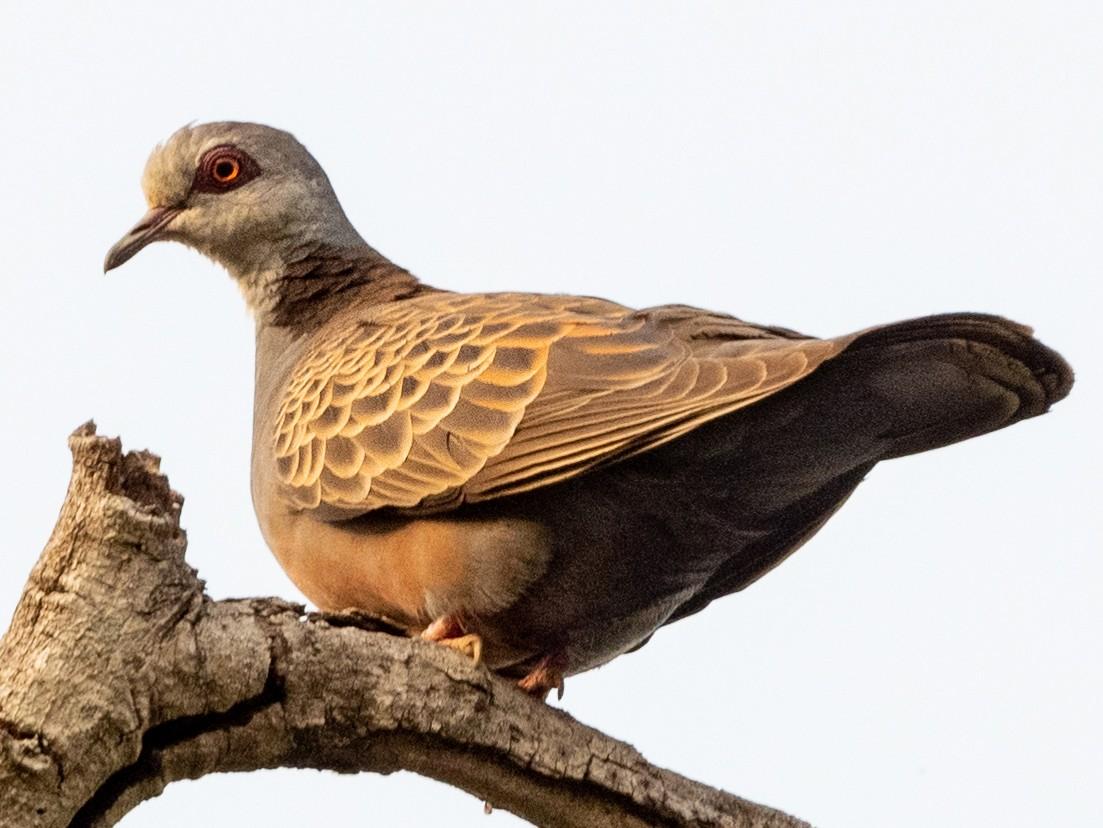 Adamawa Turtle-Dove - Hans Norelius