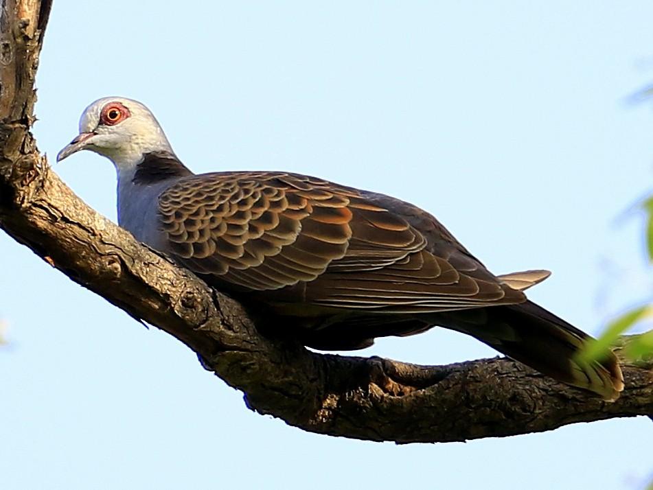 Adamawa Turtle-Dove - Fanis Theofanopoulos (ASalafa Deri)