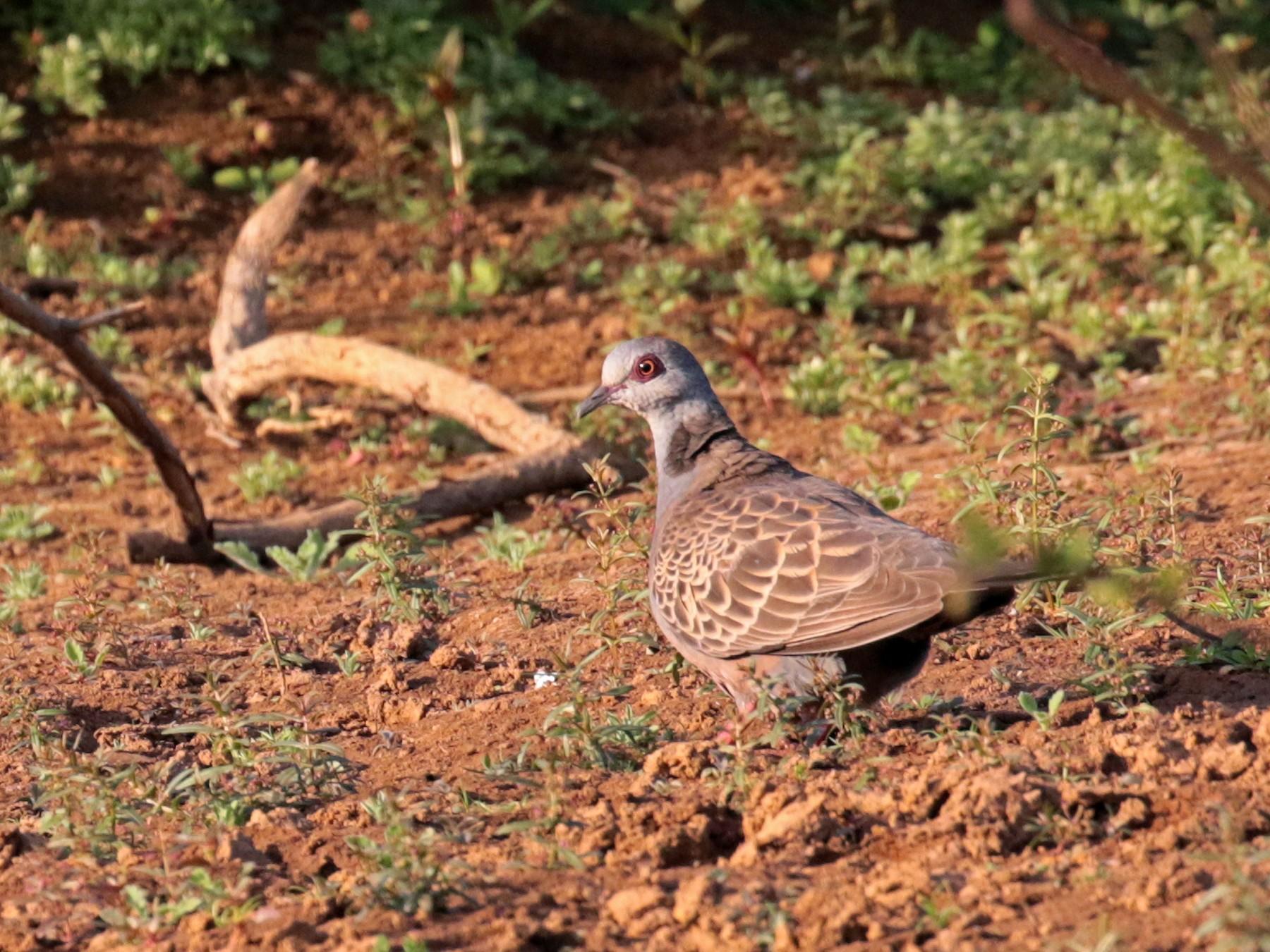 Adamawa Turtle-Dove - Paul French