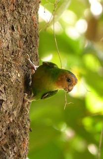- Buff-faced Pygmy-Parrot
