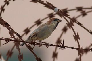 - Somali Sparrow