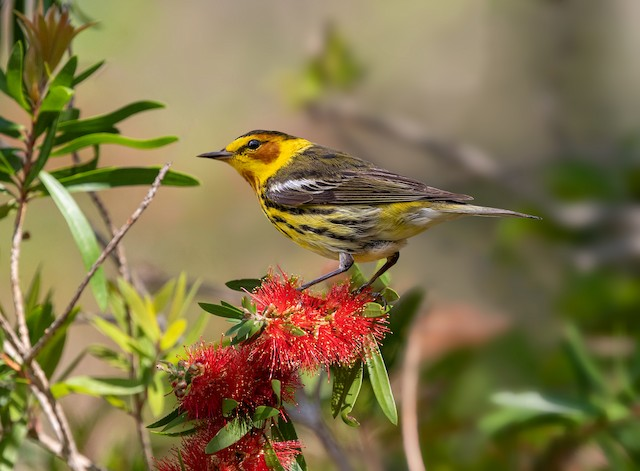 Cape May Warbler ML331416331