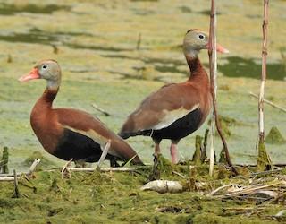 Black-bellied Whistling-Duck, ML331536231