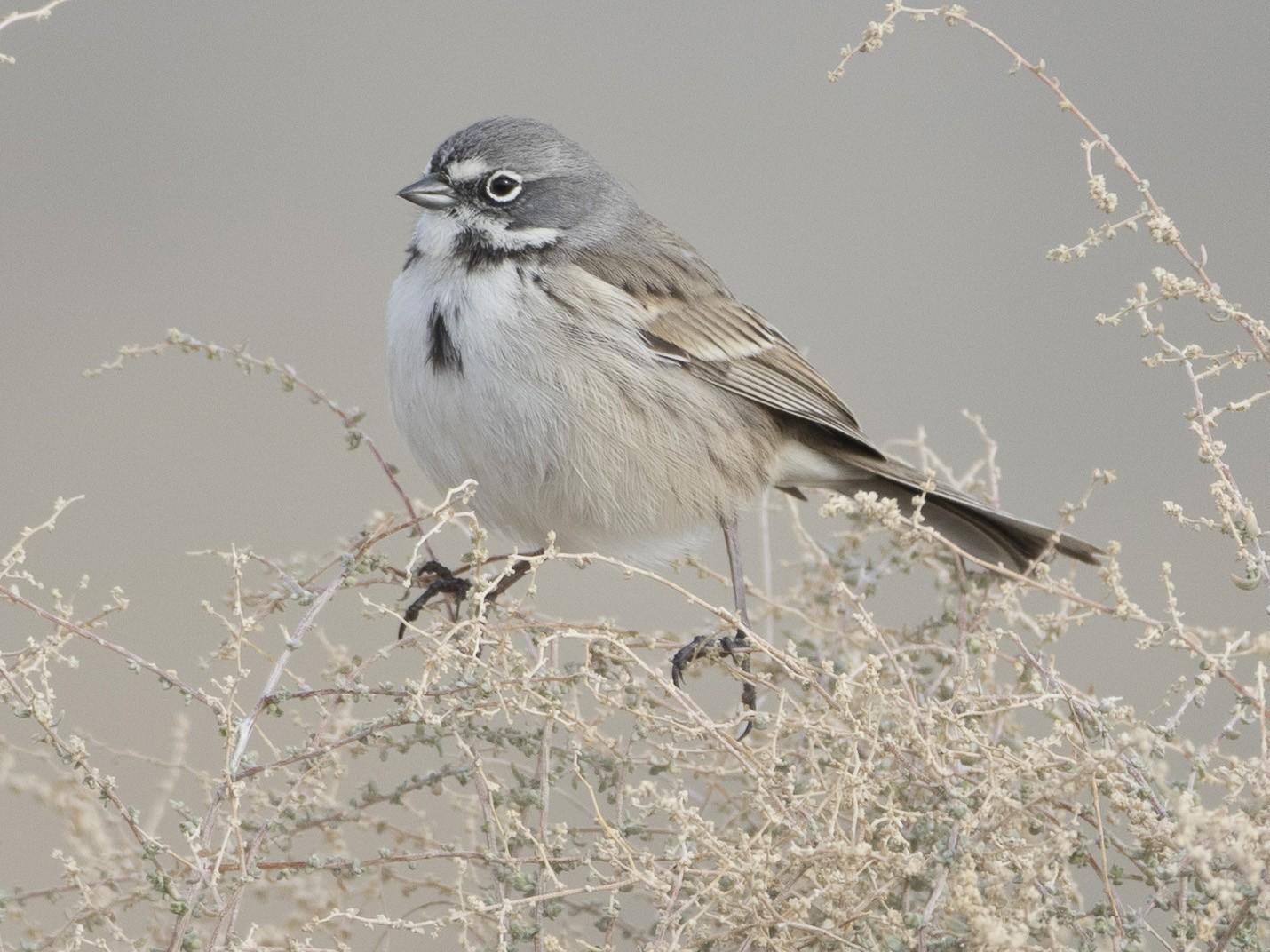 Bell's Sparrow - Brian Sullivan